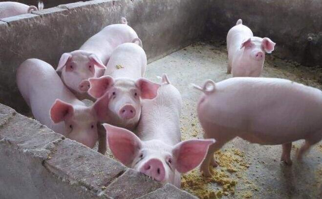 2019生猪养殖未来发展前景,农户需解决的问题有哪些?